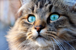 Tête d'un chat Norvégien aux yeux bleu-vert