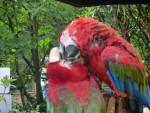 Pappagallo perroquet - ()