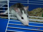 Mimi la ratoune! -