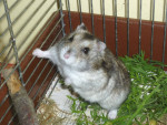 plumeti - Maschio (1 mese)